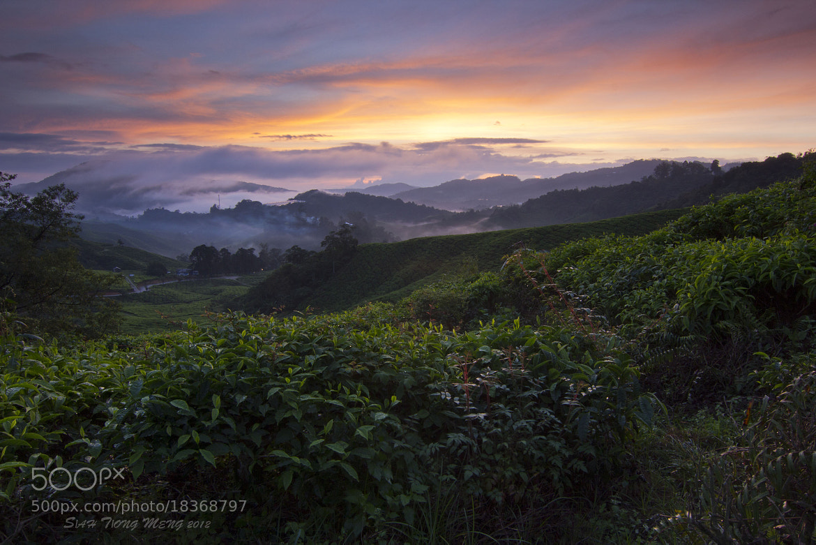 Photograph 茶园里的日出 by SIAH TIONG MENG on 500px