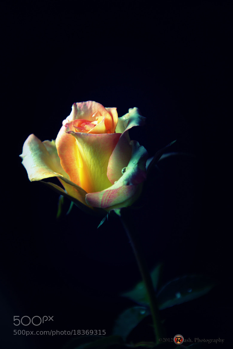 Photograph rose by Fadiel Baksoellah on 500px