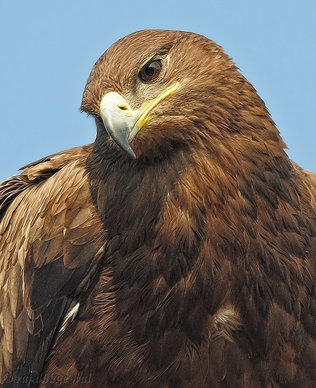 Photograph steppe eagle by raj dhage on 500px