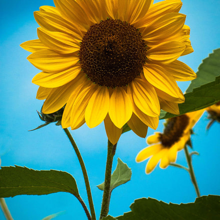 Sunflower, Nikon D70S, Tamron SP 70-300mm f/4-5.6 Di VC USD (A005)