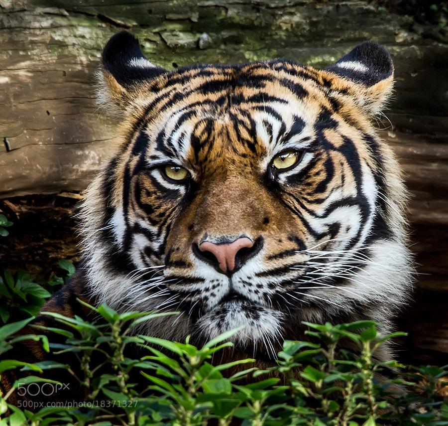 Photograph Mirada felina by Xavier Gutierrez on 500px