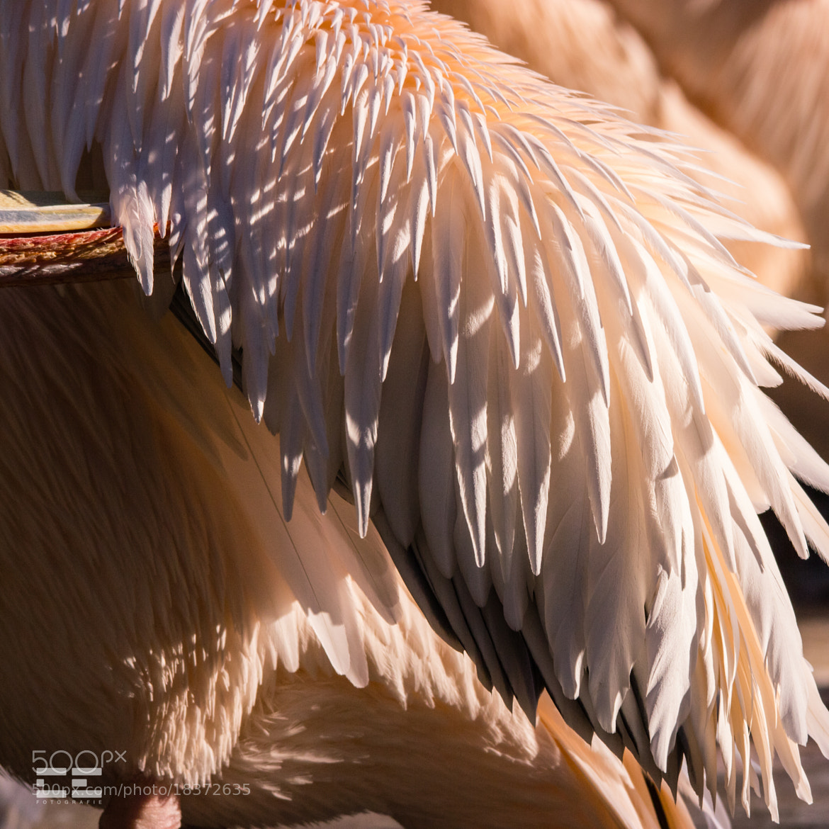 Photograph Feathers In The Sun by Carolin Ernst on 500px