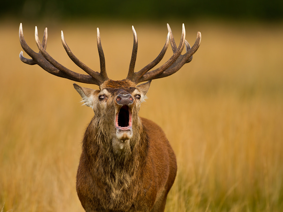 Photograph Stag by Milan Kapusta on 500px