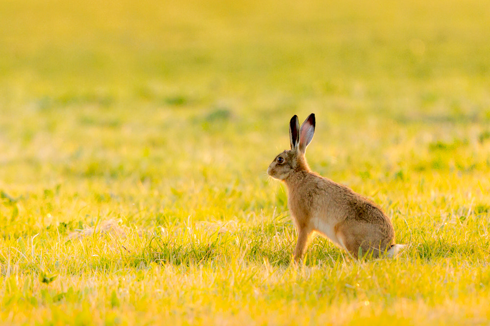 Photograph Summer Hare by Mark Medcalf on 500px