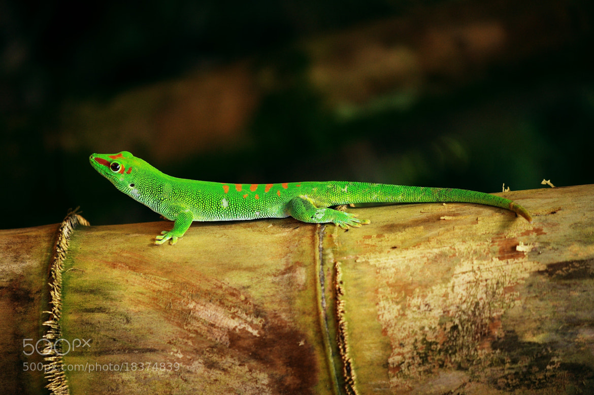 Photograph Green saurian by VisionPhotographer  on 500px