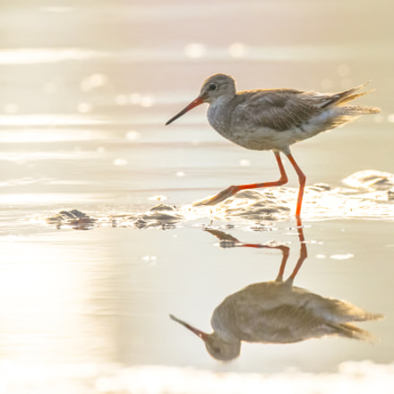 red legs, Canon EOS-1D X, Canon EF 800mm f/5.6L IS