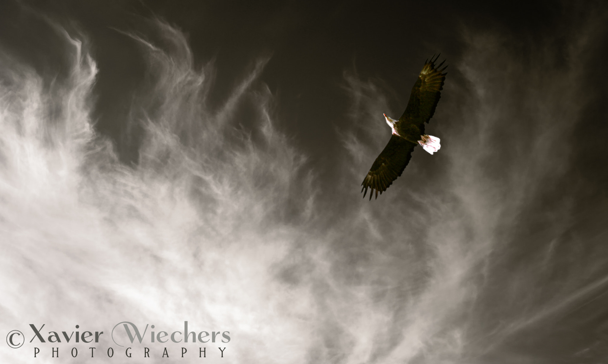 Photograph Flying Eagle by Xavier Wiechers on 500px