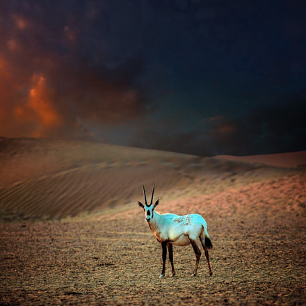 oryx in evening light, Canon EOS-1D C, Canon EF 100-400mm f/4.5-5.6L IS