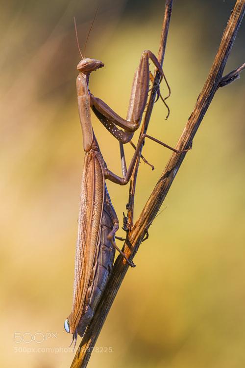 Photograph Mantis religiosa by Antonio Ramos Moreno on 500px