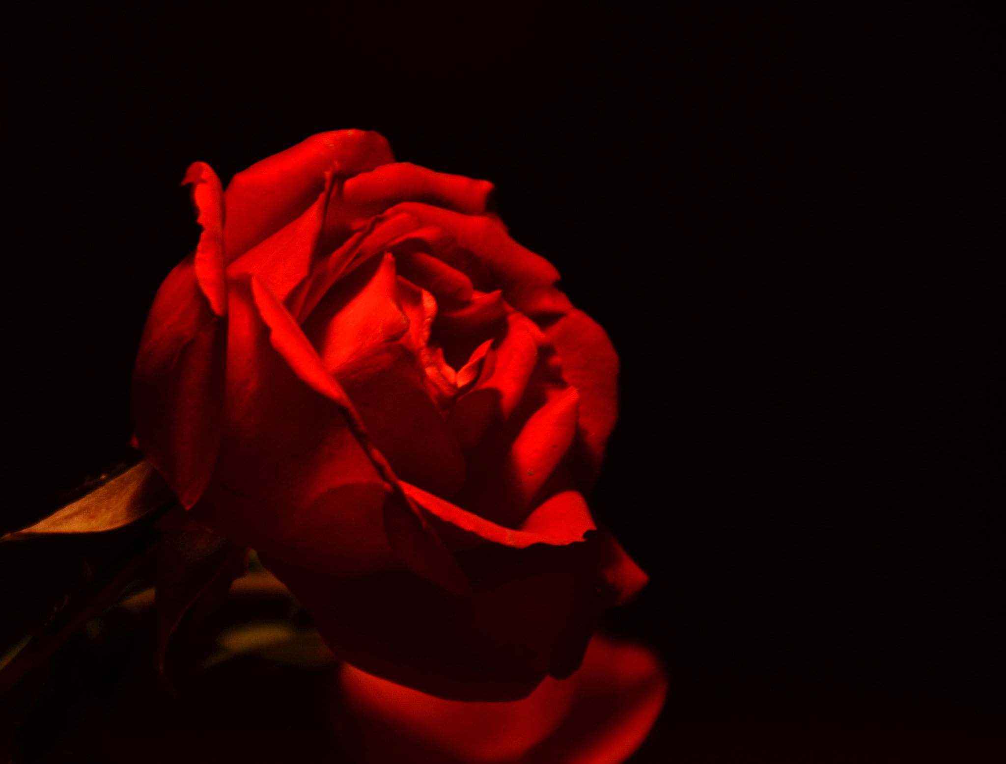 Photograph Rose by Marjolaine Roux on 500px