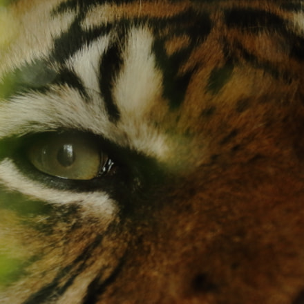 tiger eye, Canon EOS 700D, Canon EF 75-300mm f/4-5.6 IS USM