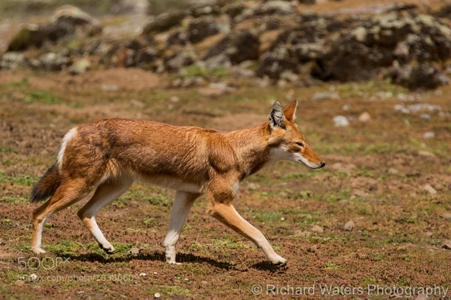 Photograph Ethiopian Wolf by Richard Waters on 500px
