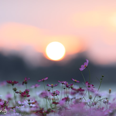 Garden cosmos in sunset, Canon EOS 5D MARK IV, Canon EF 200mm f/2L IS