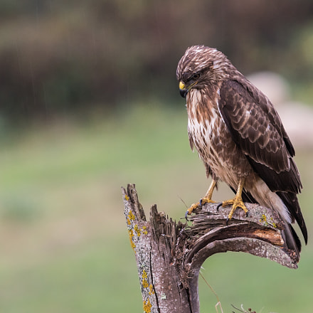 Common buzzard, Sony ILCA-77M2, Sony 300mm F2.8 G SSM II (SAL300F28G2)