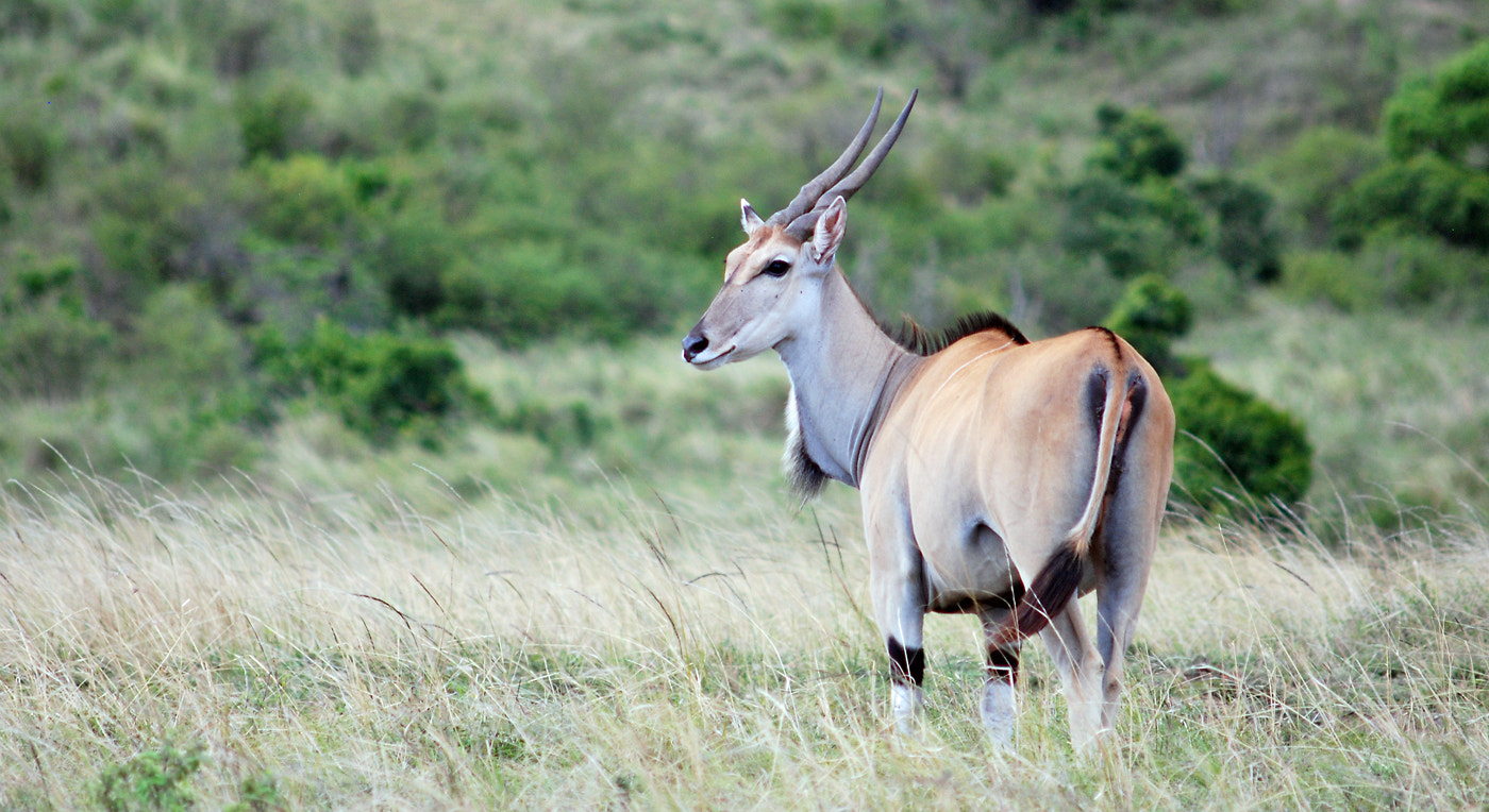 Photograph The giant of all antilopes, the Eland by Mikael Strandberg on 500px