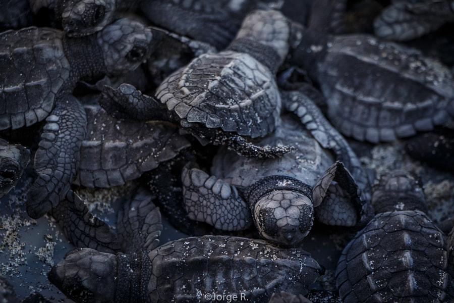 Newborn Turtles! by Jorge Rosas on 500px.com