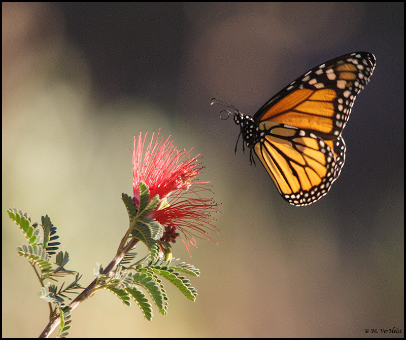 Photograph Monarch butterfly  by Mary VerHelst on 500px