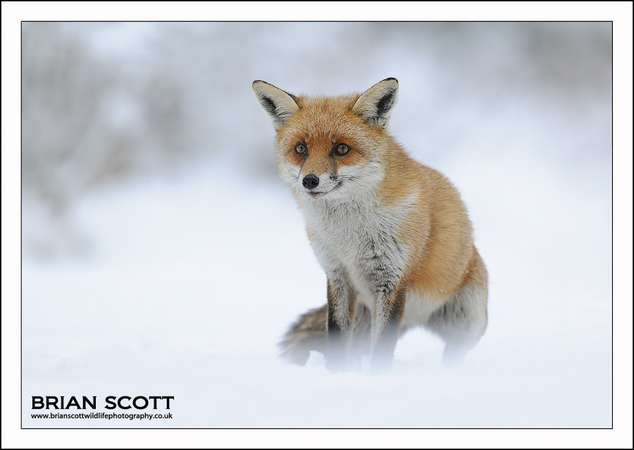 Photograph Snowy Fox by Brian Scott on 500px