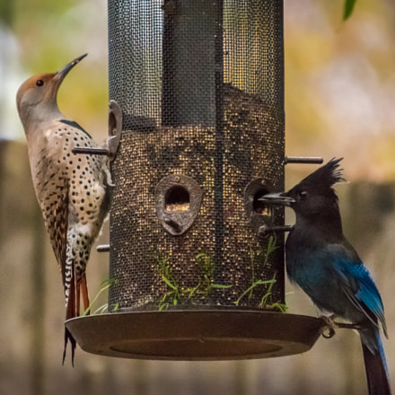 Northern Flicker and Stellers, Nikon D5500, Sigma APO 120-400mm F4.5-5.6 DG OS HSM