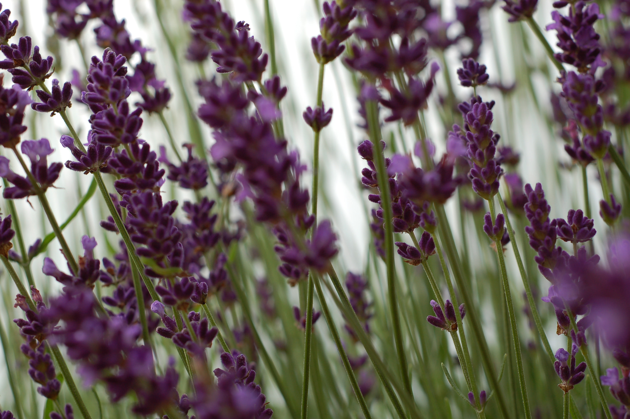 Photograph lavender by Kate Walker on 500px
