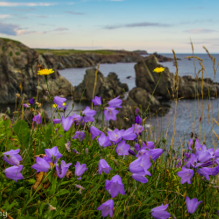 Harebells at Crow Head