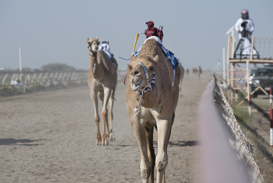 Camel Leading the Race
