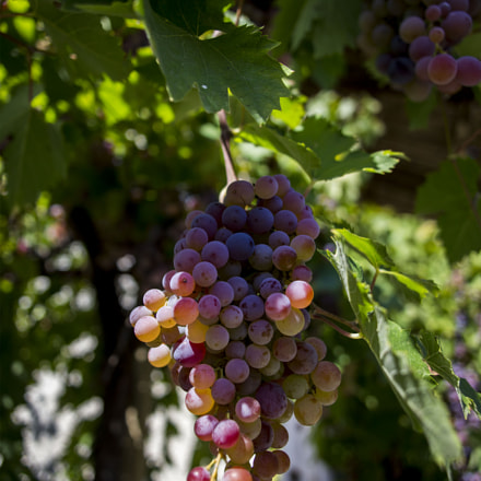 Fresh Grapes on the, Canon EOS 6D, Canon EF 24mm f/2.8
