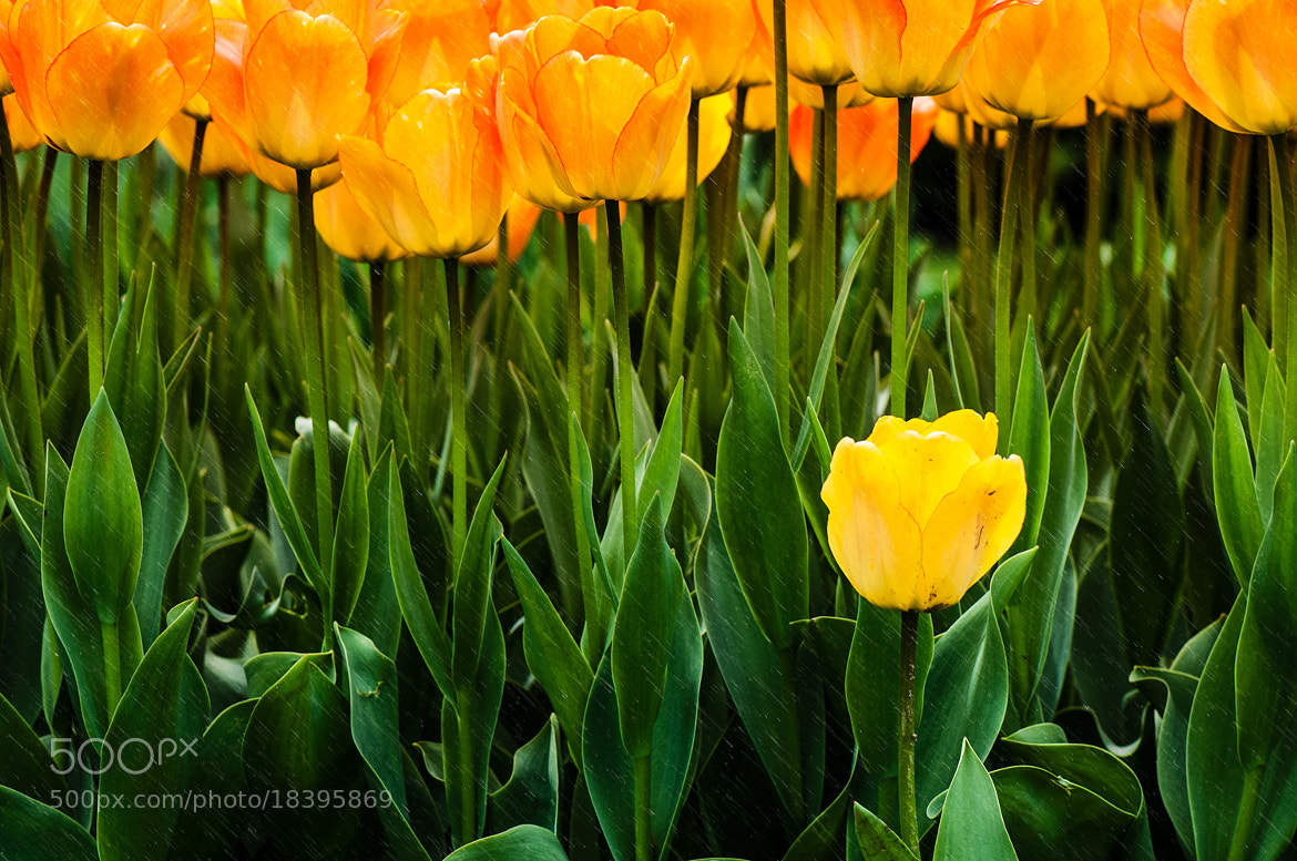 Photograph Tulips by Tanya Rist on 500px