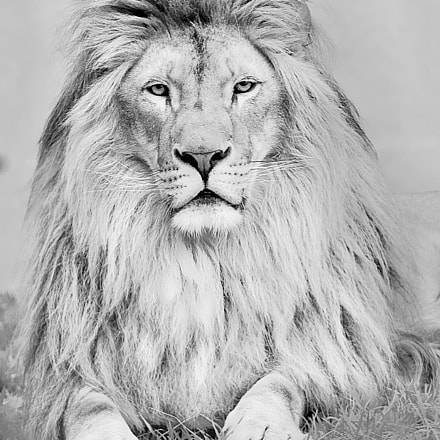 Portrait of the King, Canon EOS-1DS MARK II, Canon EF 70-200mm f/2.8L IS