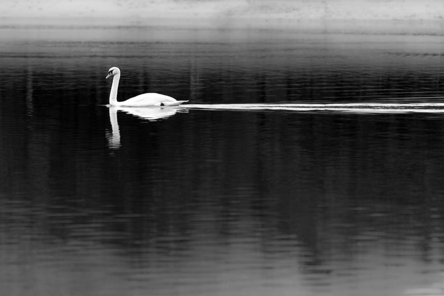 White Swan Black Water by Iñaki MT on 500px.com