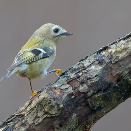 Goldcrest , Canon EOS-1D X, Canon EF 600mm f/4.0L IS II USM