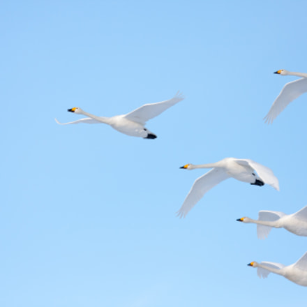 Whooper Swan, Canon EOS 40D, Canon EF 300mm f/2.8L IS
