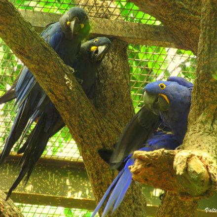 Blue macaws, Canon POWERSHOT SX160 IS