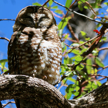 Mexican Spotted Owl, Canon EOS 70D, Canon EF 100-400mm f/4.5-5.6L IS USM