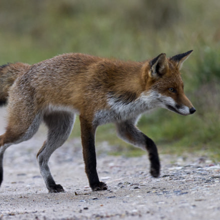 fox, Canon EOS-1D X, Canon EF 400mm f/2.8L IS II USM