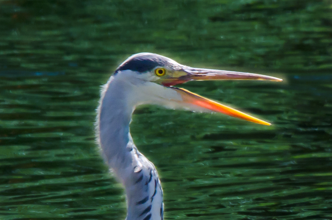 Photograph Heron-Hy Folks ! by Carsten Welzel on 500px
