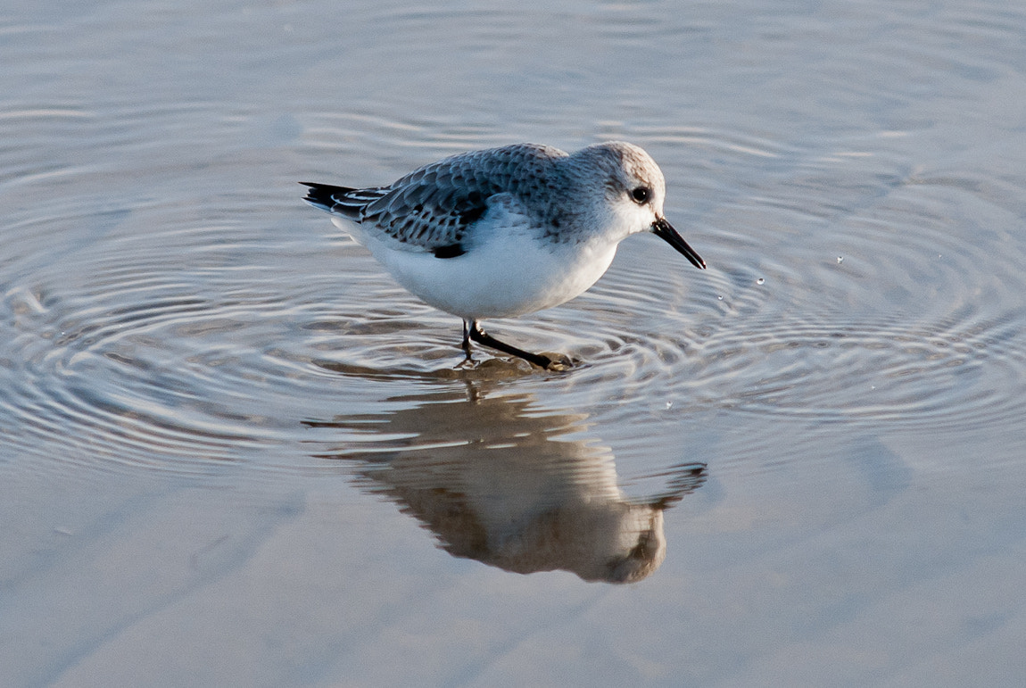 Photograph Sandpiper-Reflection by Carsten Welzel on 500px