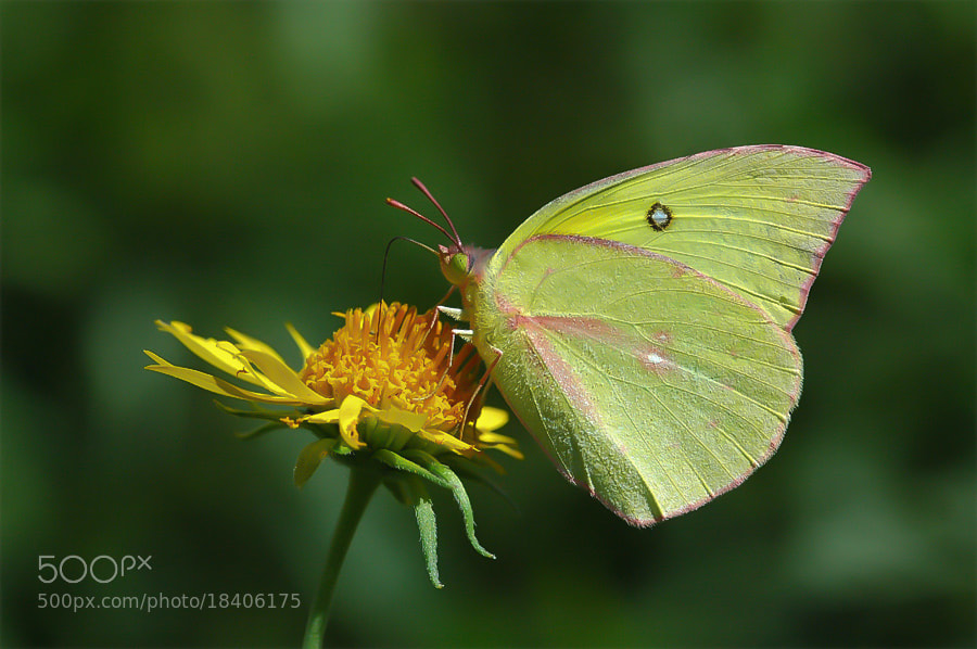 Photograph Yellow Butterfly by Luis Jaime Leal on 500px