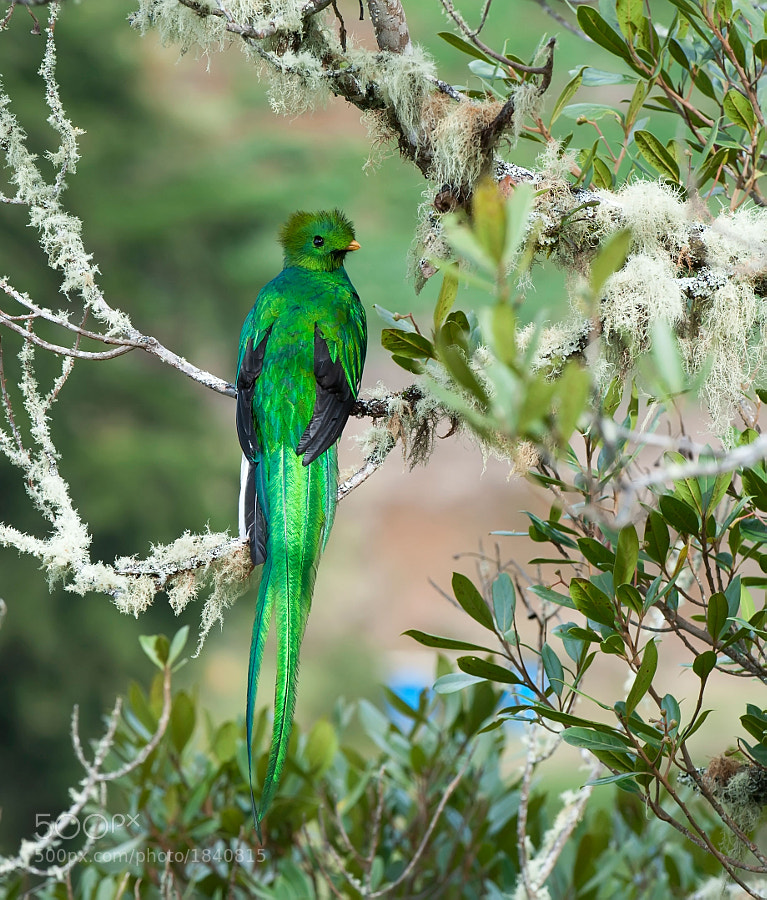 This is the male Quetzal and as is in many species much more vibrant in color than the female.  This was taken on a recent trip to Costa Rica.