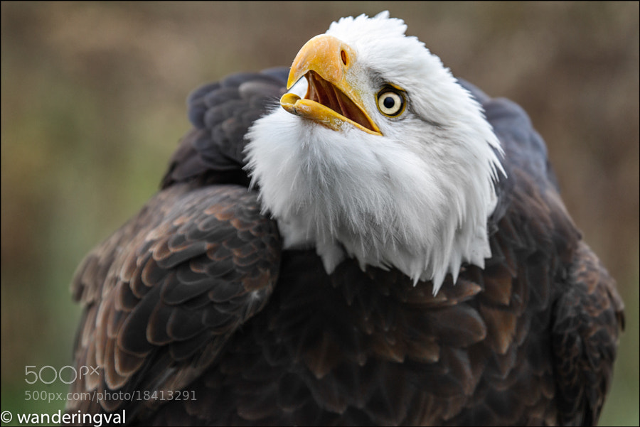 Bald Eagle / Белоголовый орлан by Wanderingval :-)  (wanderingval)) on 500px.com