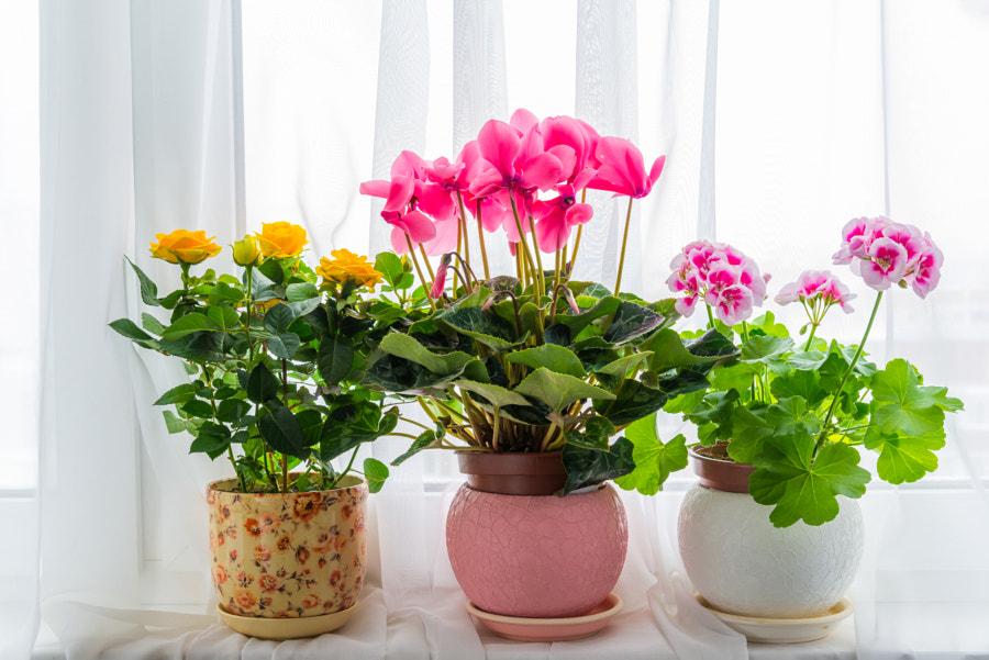 Three potted flower stand on windowsill in curtains background by Olga Volodina on 500px.com