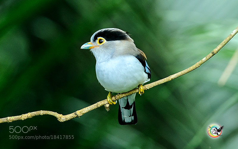 Photograph Sliver Breasted Broadbill by Andy Fu on 500px