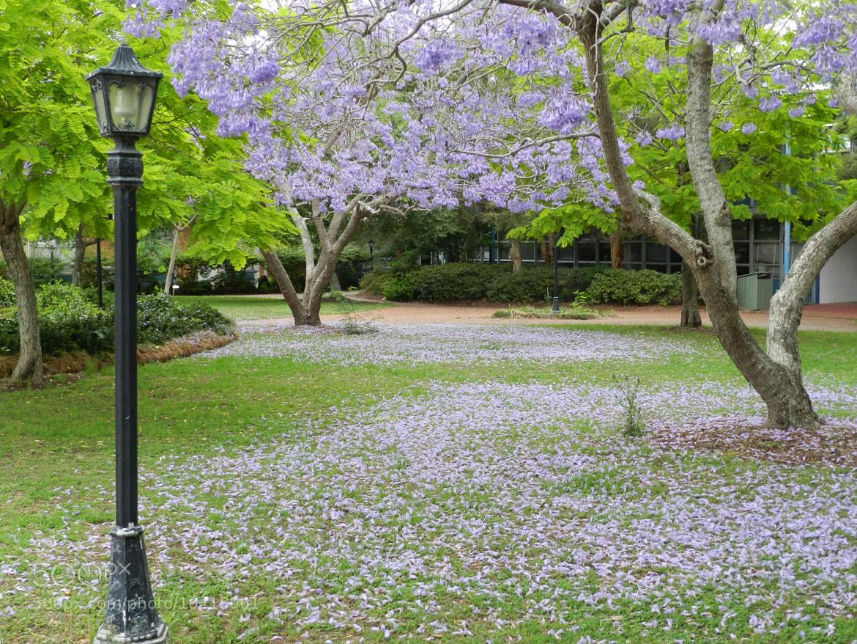 Photograph Jacaranda blooms 1 by Inkeri Dabson on 500px