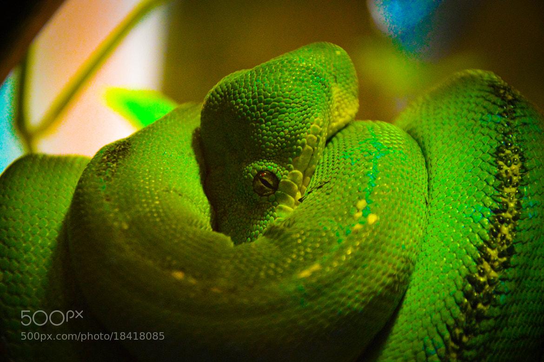 Photograph I've got my Eye On You - Green Tree Python Snake by Bill Schuchman on 500px