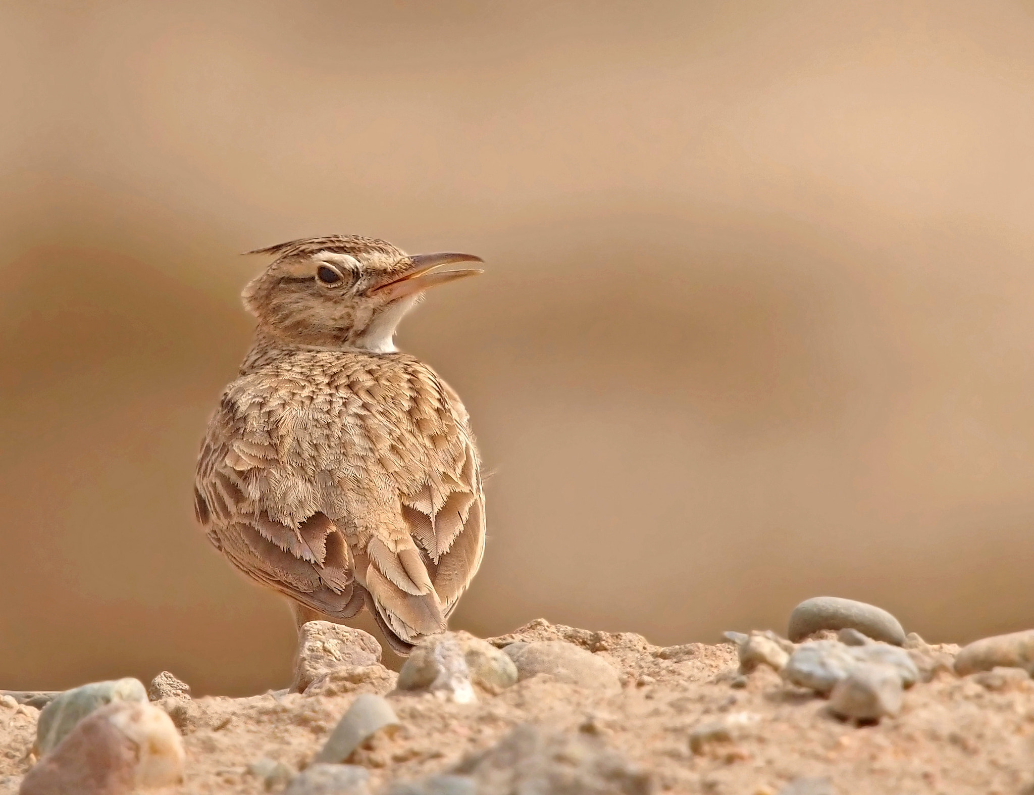 Photograph Crested Lark by ammadoux on 500px