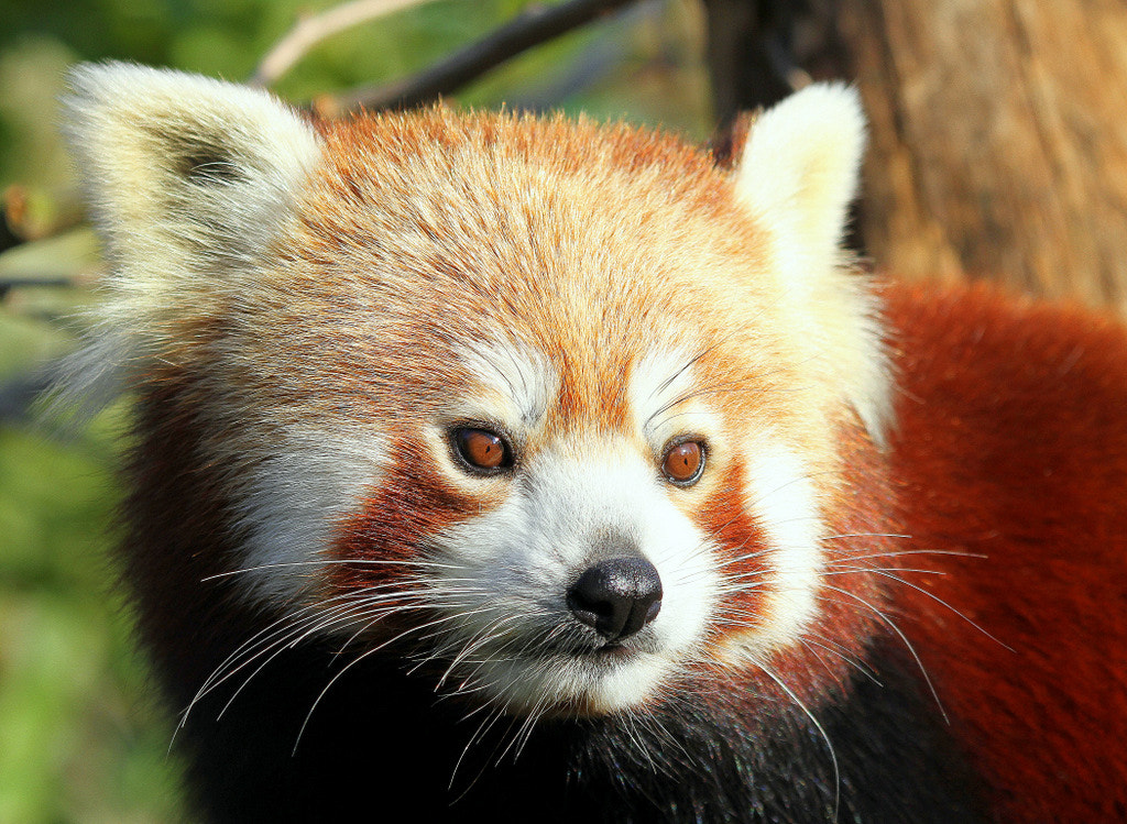 Photograph Red Panda portrait by Rainer Leiss on 500px