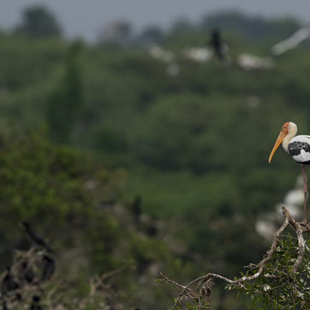 Painted Stork scape, Canon EOS 7D MARK II, Canon EF 600mm f/4.0L IS II USM