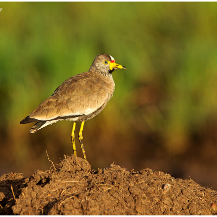 The Sunrise Lapwing!, Canon EOS-1D MARK IV, Canon EF 300mm f/2.8L IS