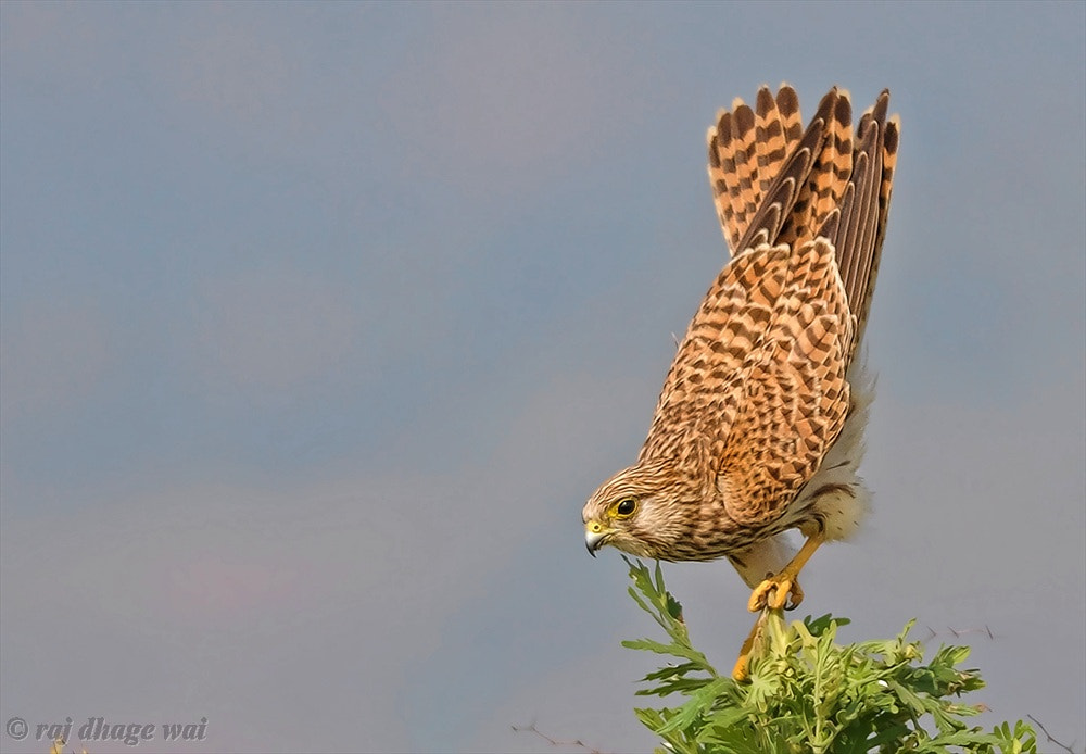Photograph Common Kestrel by Raj Dhage on 500px