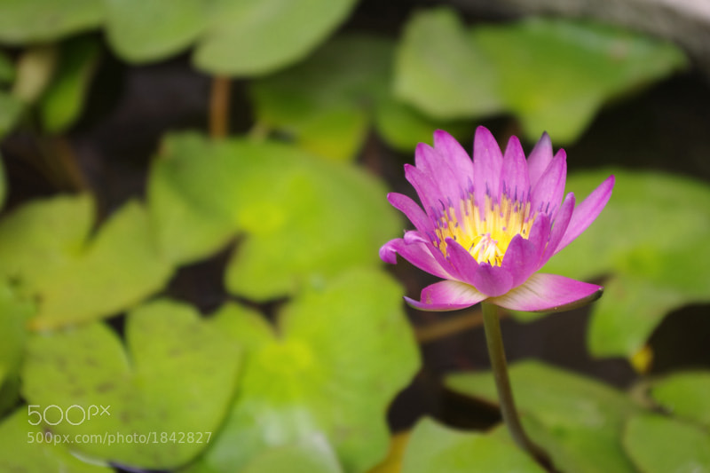 Photograph Lotus by Yeung  Mary Jacqueline on 500px